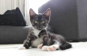 cute cat turbo kitten kitty spca cats domestic short hair u2013 a
