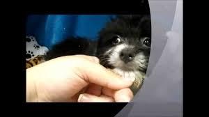 pomeranian x bichon frise sale pom a chon puppy youtube