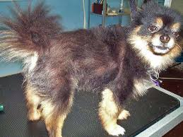 long hair chihuahua hair growth what to expect truths and myths about shaving dogs with double coats familypet