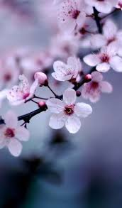 Flowers In Japanese Culture - sakura 桜 is the japanese word for cherry blossom they are most