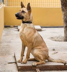 belgian malinois 10 weeks incredible recovery of starving puppy nicknamed spaghetti in spain