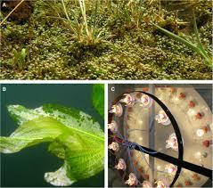 australian native water plants frontiers underwater photosynthesis of submerged plants u2013 recent
