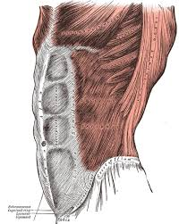 Human Anatomy Muscle The Muscles And Fasciæ Of The Abdomen Human Anatomy