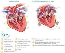 Dog Anatomy Heart What Is Valve Disease