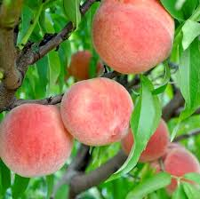 Best Fruit Trees For North Carolina - carolina belle peach peach trees stark bro u0027s
