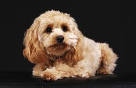 Do Cockapoo Dogs Shed A Lot by General Care And Grooming Tips For Cockapoo Dogs You Shouldn U0027t