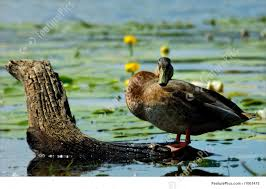 image of funny duck