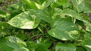 Indoor Vine Plants Heartleaf Philodendron Care U2013 Growing The Sweetheart Plant