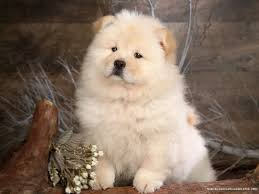 Cute Dogs Wallpapers by Cute Chow Chow Puppy Dog Wallpaper For Your Computer Desktop