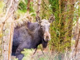 interesting facts about moose northern ontario travel