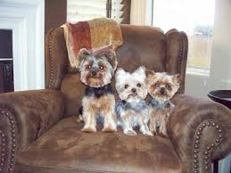 pictures of puppy haircuts for yorkie dogs club doggie mobile grooming salon photo gallery