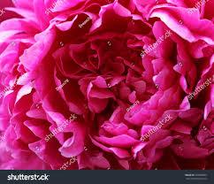 beautiful purple peony flower arrangement stock photo 653555803