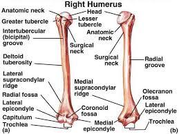 Which Cell Helps In Movement Of Bones Best 25 Arm Bones Ideas On Pinterest Bones Of The Arm Arm Bone