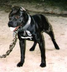 american pitbull terrier game bred bloodlines thunder kennels u0027 american pit bull terriers