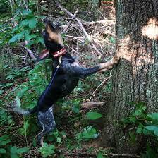 bluetick coonhound treeing outcross kennels u2013 producing u0026 training the best bluetick hounds