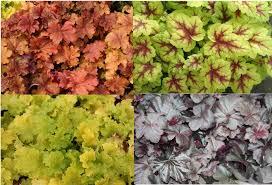 versatile colourful heuchera advice and gardening tips from alan down