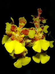 oncidium orchid oncidium auriferum