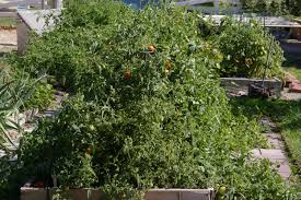 principe borghese tomato trial in southwest idaho