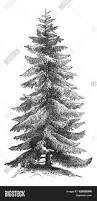 norway spruce picea abies european vector u0026 photo bigstock