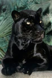 all black jaguar best 25 black jaguar ideas on pinterest panther black jaguar