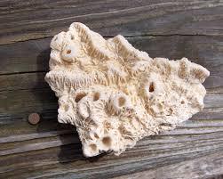 florida christmas tree tube worms fossil lady