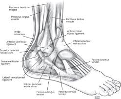 Foot Ligament Anatomy Ligaments And Muscles Of Right Foot This Chart Shows Foot And