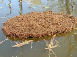 amazing fire ants work together to escape floods in south