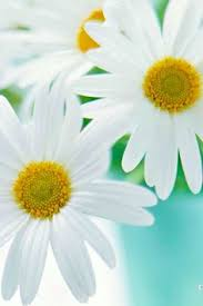White Flowers Pictures - marguerite flowers flower and garden pictures