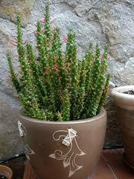 austrocylindropuntia subulata f monstrosa christmas tree cactus