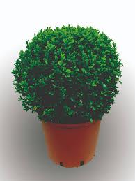 buxus sempervirens in vaso bosso a palla buxus sempervirens piante da esterno vendita