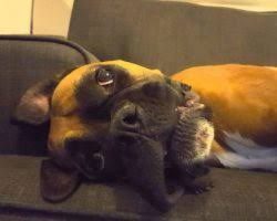 6 week pregnant boxer dog boxer archives the waggington post