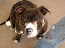 american pitbull terrier hound mix mixed breed pit bulls pit bull mix dogs
