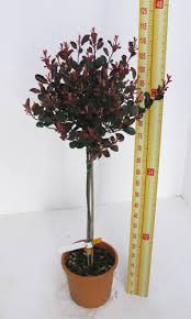 Lollipop Topiary Tree - cheap topiary plants online lollipop trees for sale essex