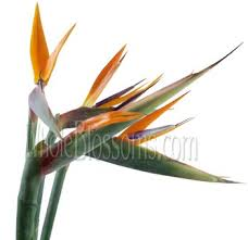 bird of paradise flower buy wholesale birds of paradise flowers in bulk birds of