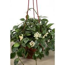 Fragrant Potted Plants - hoya u0027eskimo u0027 hoya khoniana has highly fragrant white flowers