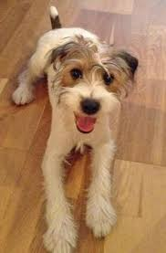 haircut ideas for long hair jack russell dogs long haired jack russell terrier puppies for sale in kent google