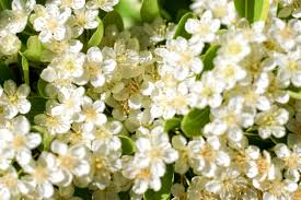 small white flowers three stock photo small white flower backgrounds www
