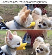 Pomeranian Meme - funny memes today 6 when see your crush is coming