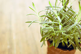 herb 14 medicinal herbs you can grow reader u0027s digest