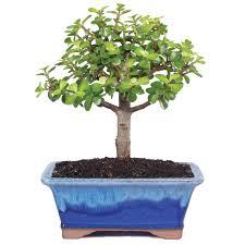 Small Indoor Trees by Amazon Com Trees Plants Seeds U0026 Bulbs Patio Lawn U0026 Garden