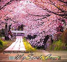 amazon com 8 x japanese flowering cherry tree seed prunus