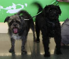affenpinscher kennel stockholm ace pet moving moving with dogs from switzerland to australia