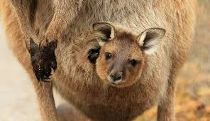 inside a once you see inside a kangaroo s pouch there s no going back