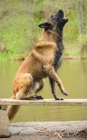 belgian tervuren 101 j swimming isa tervueren shepherd belgian shepherd tervueren