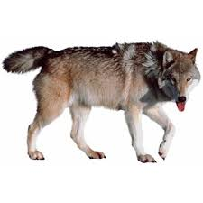 wolf meaning of wolf in longman dictionary of contemporary