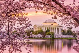 cherry blossom pics cherry blossom festival dc 2018 when to expect peak bloom this