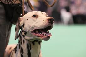 boxer dog crufts 2015 the cutest of the cute at crufts 2015