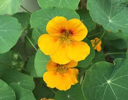 nasturtium flowers how to grow and use nasturtiums