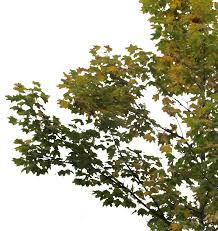 small maple tree 3 cutout trees