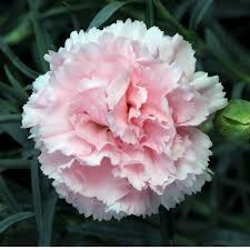 carnation flowers carnations flowers carnation flower gallery 7